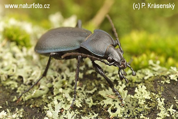 Ground beetle (Carabus convexus)