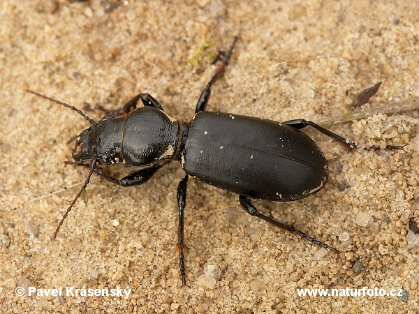 Ground Beetle (Broscus cephalotes)