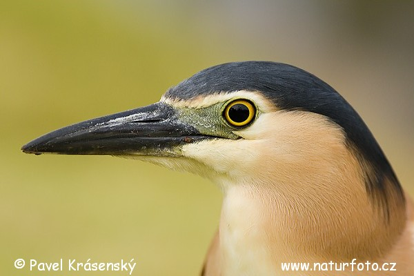 Heron (Nycticorax sp.)