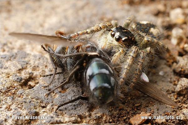 http://www.naturephoto-cz.com/photos/krasensky/jumping-spider-1665.jpg