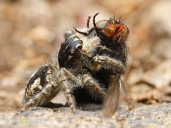 http://www.naturephoto-cz.com/photos/krasensky/jumping-spider-1668.jpg