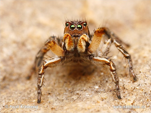 http://www.naturephoto-cz.com/photos/krasensky/jumping-spider-1669.jpg