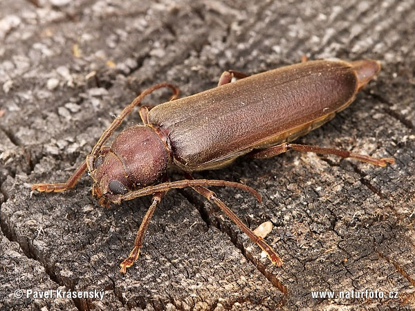 Long-horn Beetle Photos, Long-horn Beetle Images, Nature ...