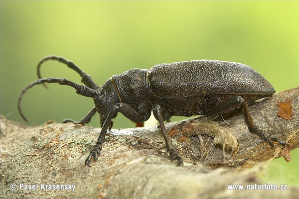 Long-Horned Beetle (Lamia textor)