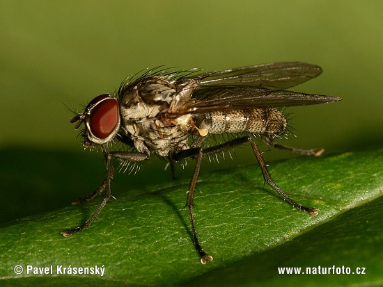 Muscid Fly (Helina sp.)
