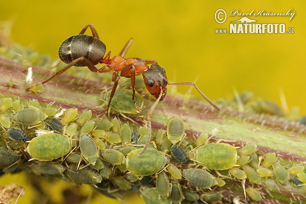 Narrow-headed Ant (Formica execta)