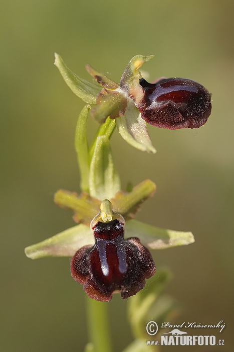 Ophrys orchid (Ophrys garganica)