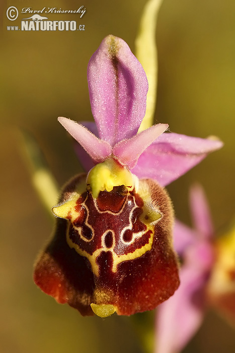 Ophrys (Ophrys apulica)