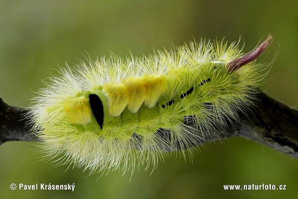 bonne nuit dans image bon nuit, jour, dimanche etc. pale-tussock-moth-1390