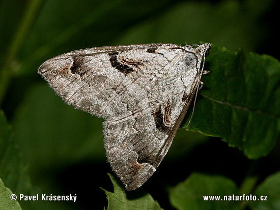 Purple Treble-bar (Aplocera praeformata)