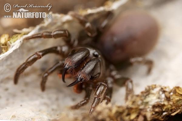 http://www.naturephoto-cz.com/photos/krasensky/purse-web-spider-xxx_mg_5218.jpg