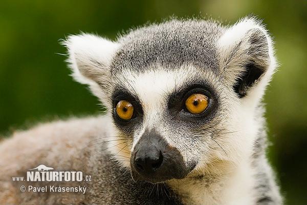 Researcher decodes the secret language of ringtailed lemurs