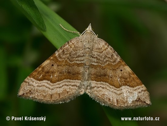 Shaded Broad-bar (Scotopteryx chenopodiata)
