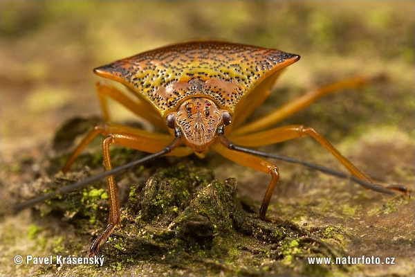 Shield Bug (Acanthosomatidae)