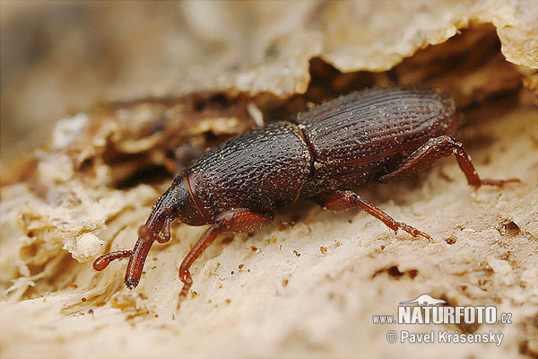 sitophilus granarius pictures granary weevil images. Black Bedroom Furniture Sets. Home Design Ideas
