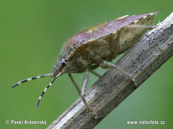 Sloe Bug (Dolycoris baccarum)