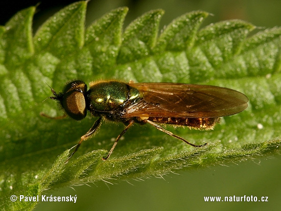 Soldier Fly (Chloromyia formosa)