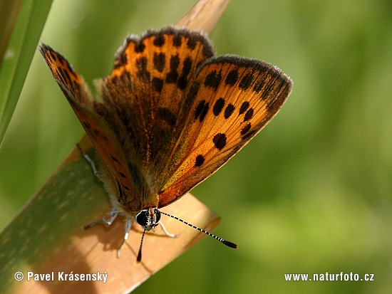 Sooty Copper (Lycaena tityrus)