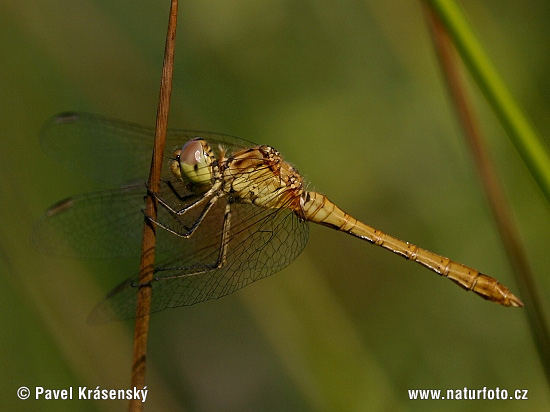 Southern Darter (Sympetrum meridionale)