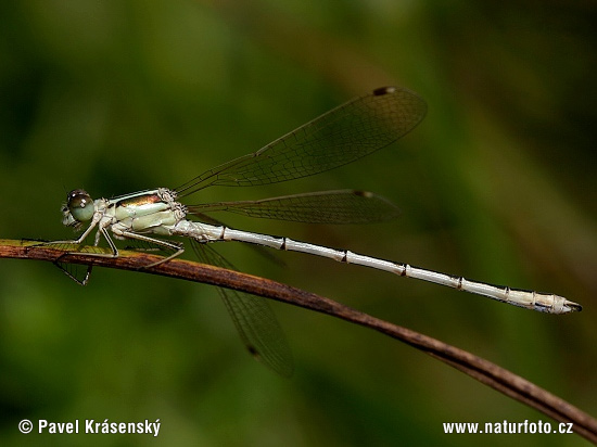 Southern Emerald Damselfly (Lestes barbarus)
