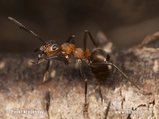Southern wood Ant (Formica rufa)