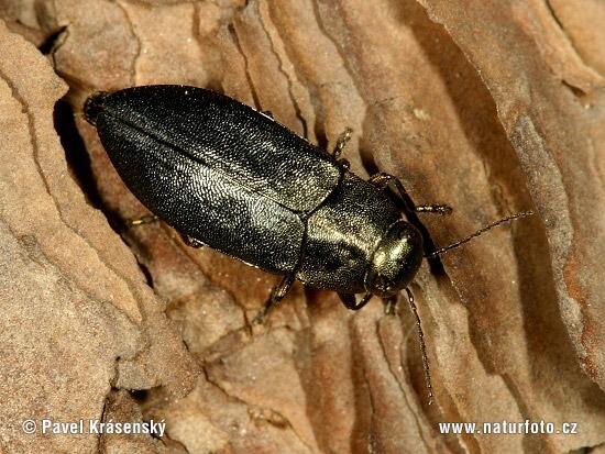 Steelblue Jewel Beetle Photos, Steelblue Jewel Beetle ...