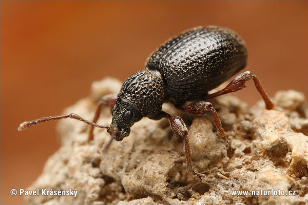 Strawberry Root Weevil (Otiorhynchus ovatus)
