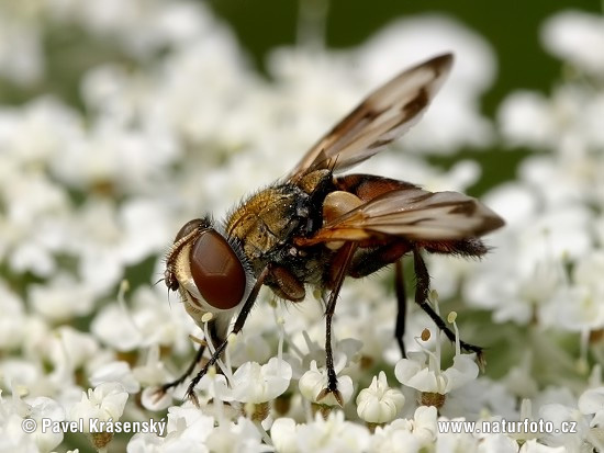 Tachinid Fly (Phasia sp.)