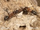 Ants - Fight for colony