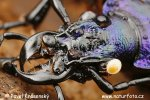 Blue Ground Beetle