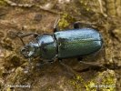 Blue Stag Beetle