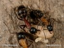 Boreal Carpenter Ant