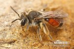 Girdled Mining Bee
