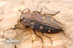 Gold pit oak splendour beetle