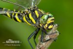 Golden-ringed Dragonfly - Common Goldenring