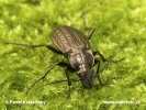 Granulated Carabus