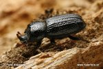 Horned stag beetle