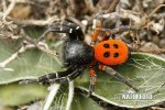 Lady bird Spider