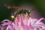 Ornate Tailed Digger Wasp