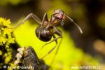 Reddish-brown European ant