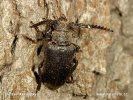 Sawing Support Beetle