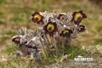 Small Pasque Flower