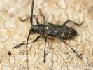 Small White-Marmorated Long-Horned Beetle