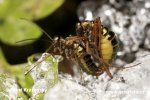 Snow Scorpion Fly