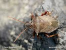 Spined stink Bug