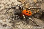 Other Spiders
