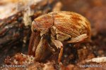 Stone Fruit Weevil