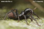 The Purseweb spider