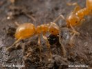Yellow meadow Ant