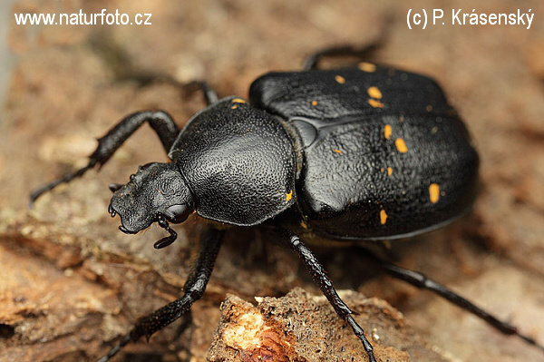 Variable chafer (Gnorimus variabilis)